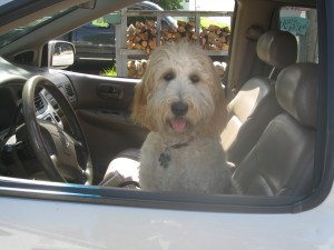 Our dog, Daisy. She drives!