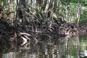 mangrove-roots-4