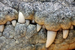 nile-crocodile-shutterstock_150730592-617x416
