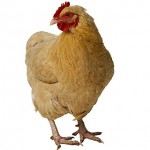 chicken_lg