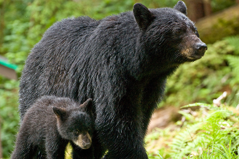 black-bear-cub-and-mom-l